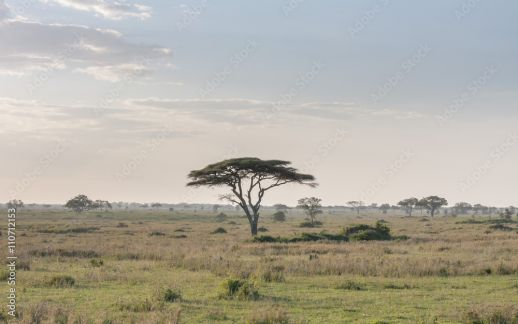 Savanna plain with acacia trees  Serengeti National Park
